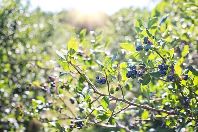 Blueberry bushes in the sun
