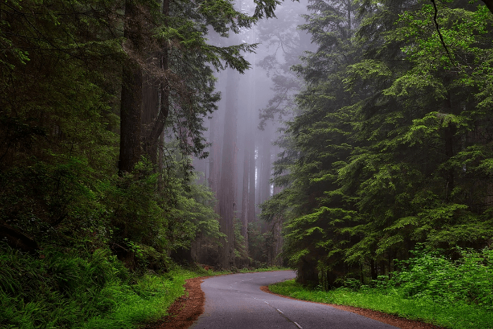 Tall redwood trees in the mist with a road winding through