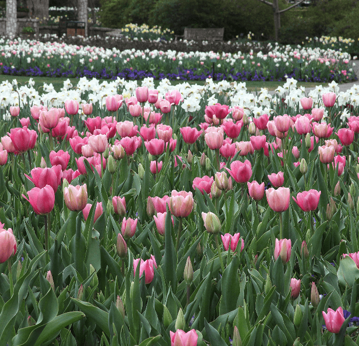 Dallas Blooms!  Welcome Spring!