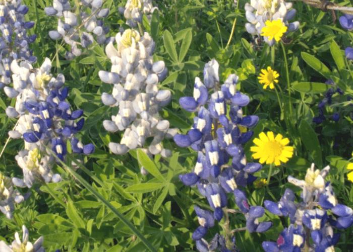 Bluebonnets and Buttercups