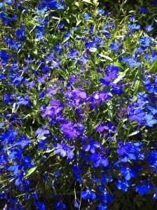 lobelia_princess_curious_gardener