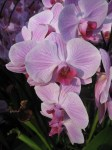 orchids-Phalaenopsis Orchid-curious-gardener-kew