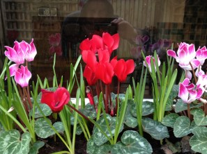 planting_bulbs_container_cyclamen_curious_gardener