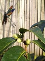 camellia_a-curious-gardener