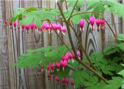 dicentra-bleeding-heart-a-curious-gardener-how-to-grow-image-5