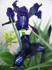 dutch-iris-container_a-curious-gardener_dark-purple