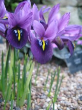 dutch-iris-container_a-curious-gardener_light_purple_kew_gardens