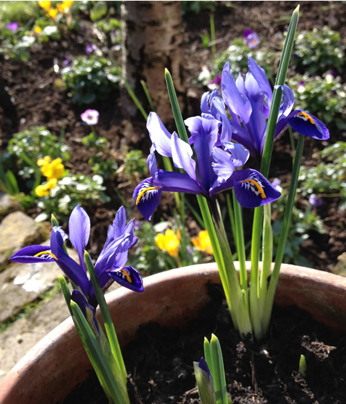dutch_iris_a-curious-gardener