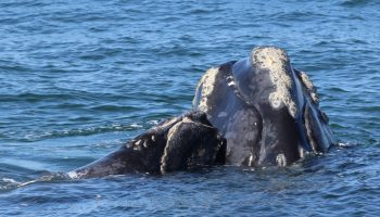 Right Whale and calf