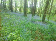 Bluebells in Knockbarron Woods - May 2013