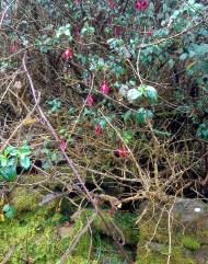 Wild Fuchsia