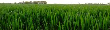Lush green crops, Bucks