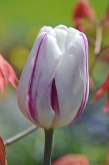 Tulip Raspberry Ripple