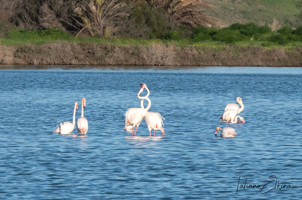 Flamingos in Cyprus -