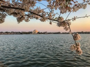 Where to see Cherry Blossoms