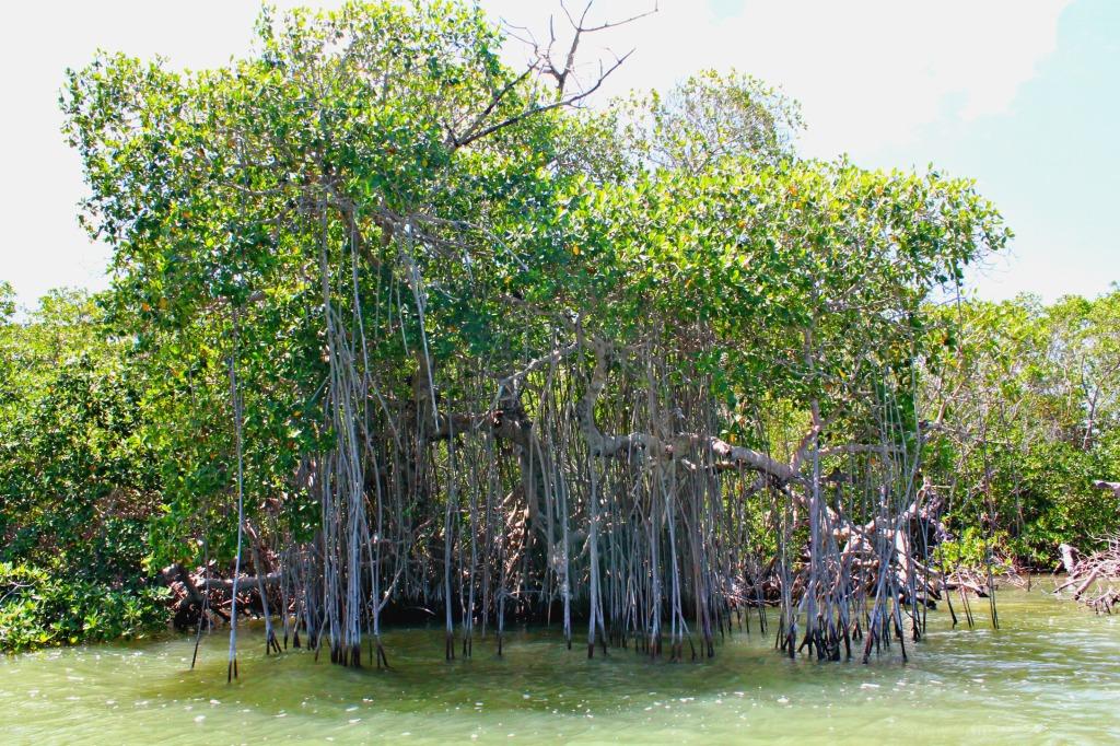 A mangrove tree on Ria Lagartos, Mexico. www.thedailyadventuresofme.com
