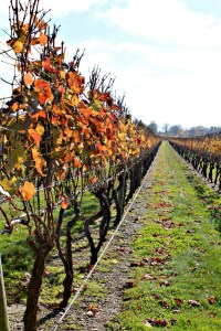 Vineyards in Newport, Rhode Island www.thedailyadventuresofme.com