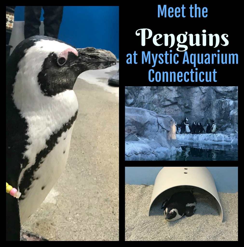 Looking for something fun to do with the family in Connecticut? Have you always dreamed of meeting a penguin? Read on to find out how. #USTravel #VisitCt #ConnecticutTravel #familytravel #thingtodoinCT #penguin #meetapenguin #AfricanPenguin #MysticCt