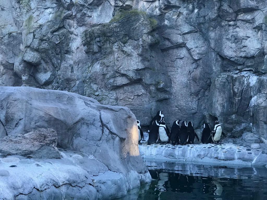 Penguins Encounter at Mystic Aquarium, Connecticut.
