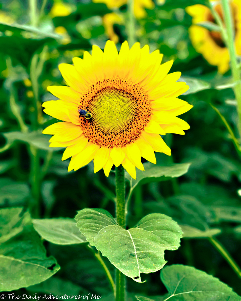 Where to see sunflowers in New England, as well as the best single flower fields to visit. #flowers #gardens #NewEnglandGardens #NewEnglandTravel