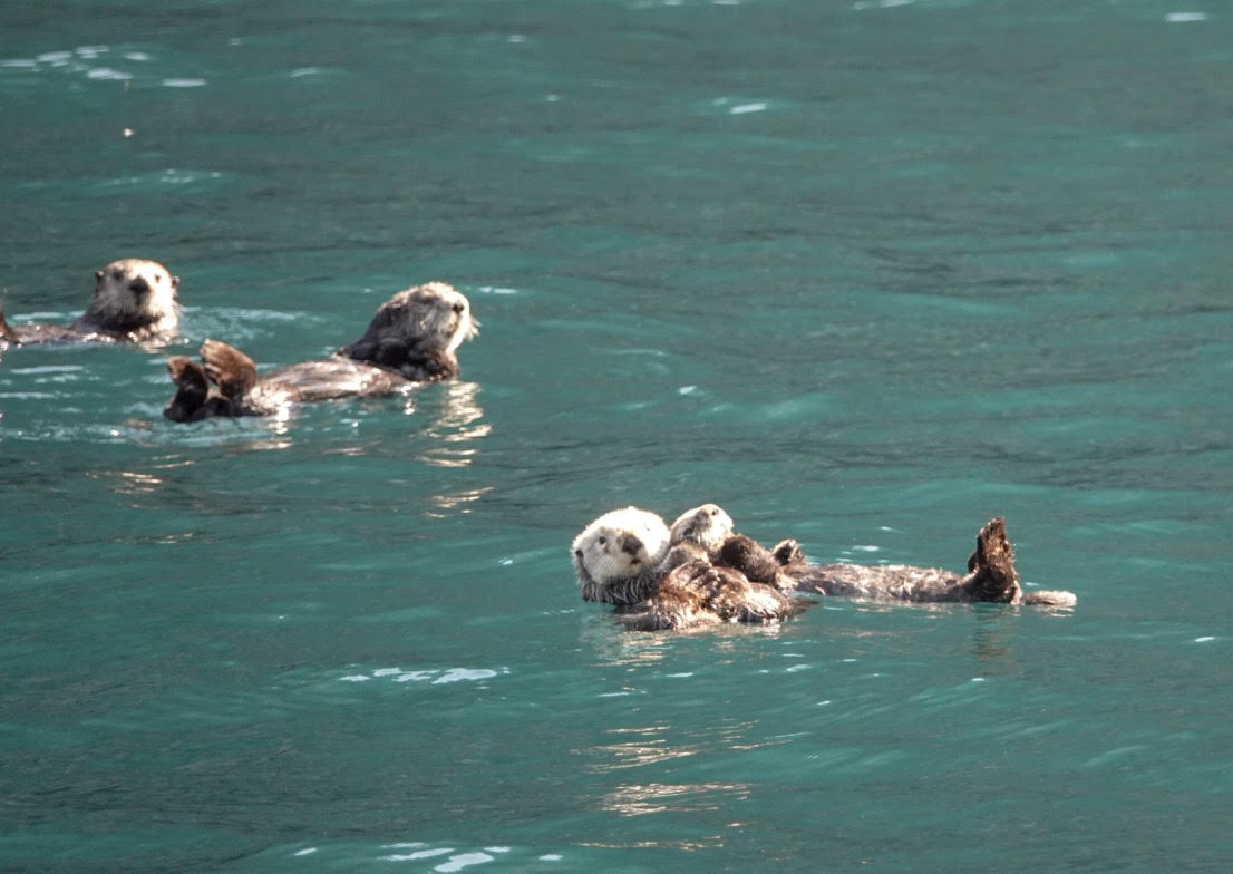 Where to find sea otters in Alaska.