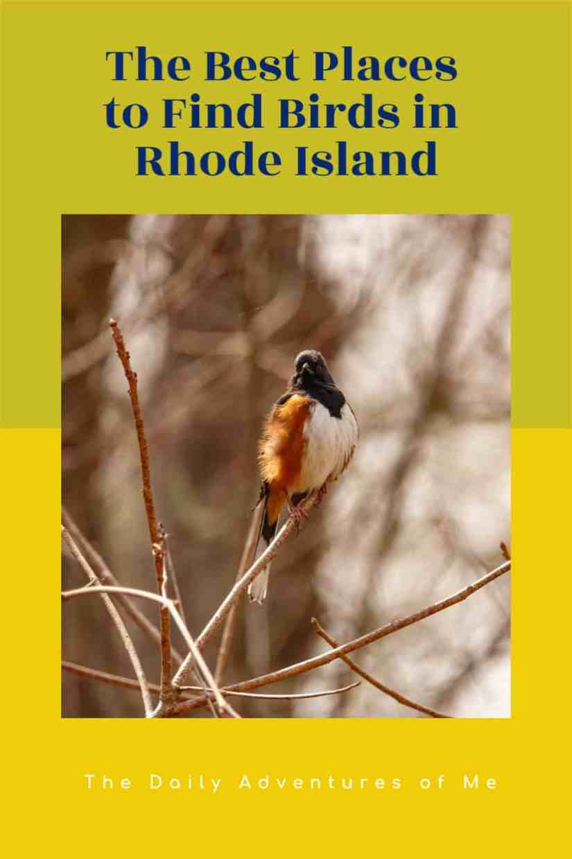 Find out what birds are making all the noise in Rhode Island and the best birding spots in Rhode Island, USA. #NewEngland #birding #birdsofNewEngland