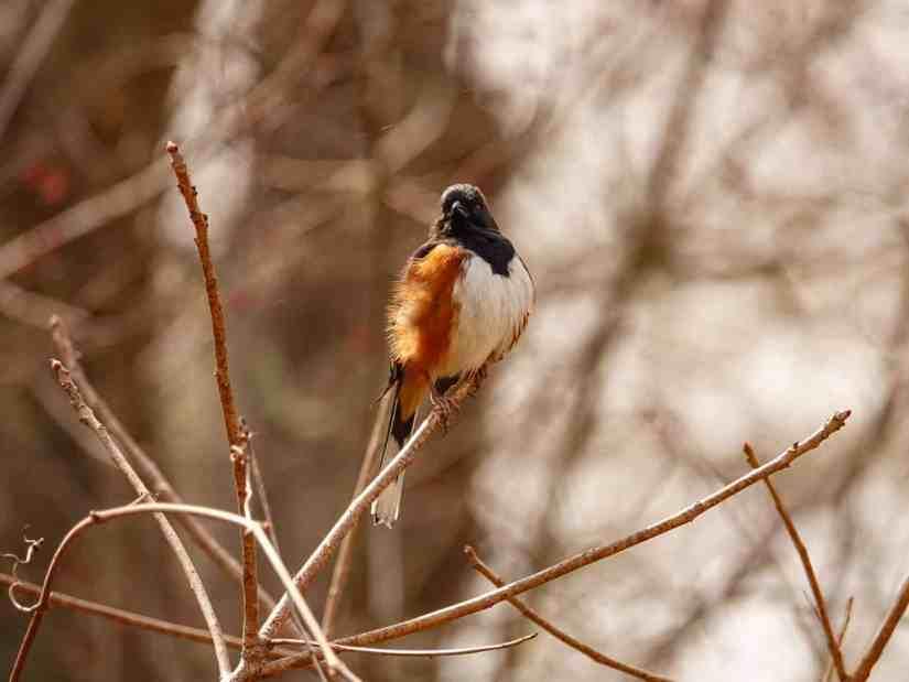 birds in Rhode Island