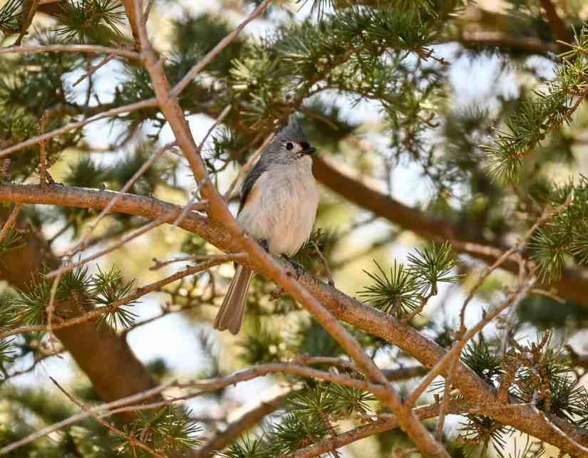 common birds in Rhode Island