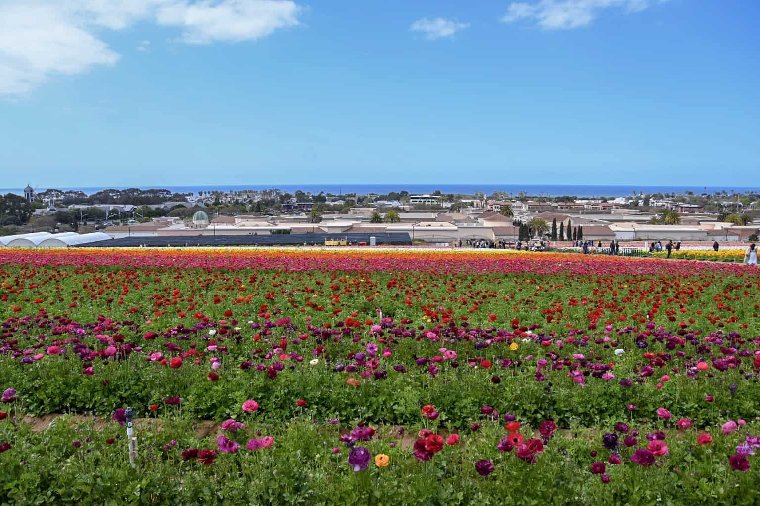A Day at The Flower Fields in Carlsbad, California- A Photo Essay