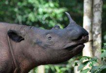 Sumatran Rhinos: Teetering on the Edge of Extinction by Jill Hedgecock