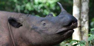 Sumatran Rhinos: Teetering on the Edge of Extinction by Jill Hedgecock