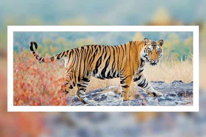 Jim Corbett National Park, Uttarakhand Records The Highest Density Of Tigers In The World