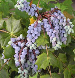 3_grapevine
