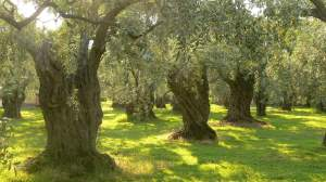 Olive%20Tree%20Orchard