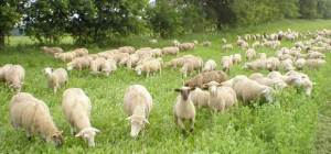 sheep_grazing