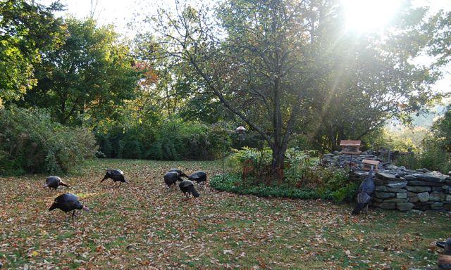 those wild & crazy turkeys