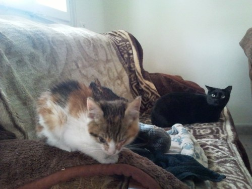bucket the kitten and pumi the cat relaxing on a couch january 2012