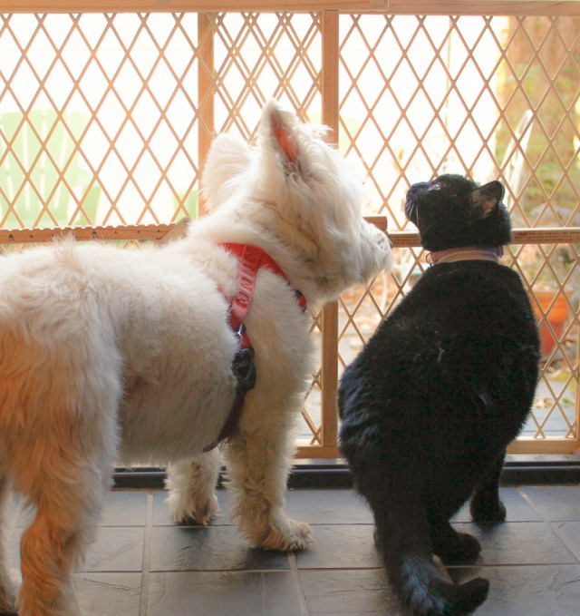 a white dog and a black cat looking out into a backyard through a baby gate
