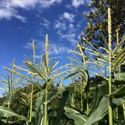 Corn and blue skies in the kitchen garden.