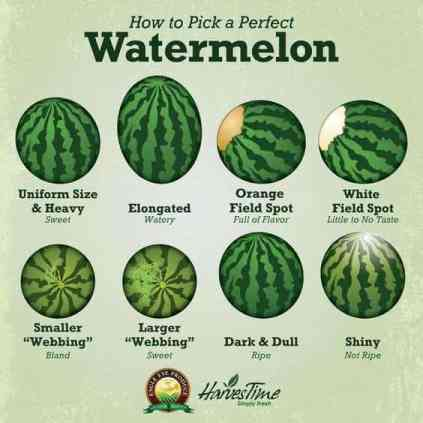 Chart explains how to pick the perfect watermelon.   Uniform Size and Heavy makes for a sweet watermelon. Elongated - watery.  Orange field spot - full of flavor. White field spot - little to no taste.  Smaller webbing - bland. Larger webbing - sweet.  Dark and dull coloring - ripe. Shiny and light colors - not ripe.