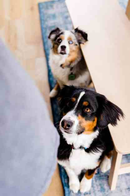 Luna and Dash, Australian shepherds sit eagerly after smelling the meatballs, waiting to give them a taste test.