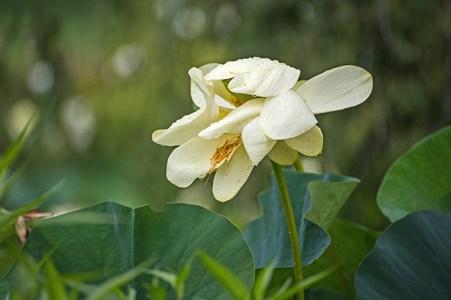lotus blossoms-1 small