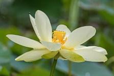 lotus blossoms-4 small