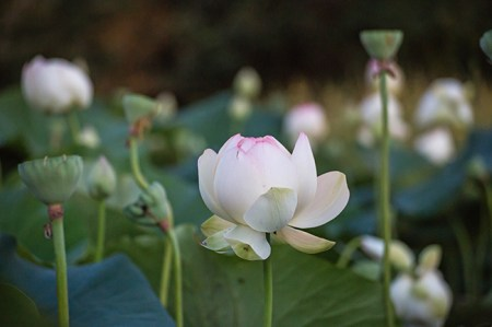 lotus in the gloaming-24 small