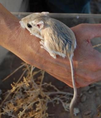Merriam's kangaroo rat. Source.