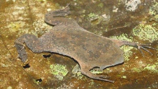 Surinam toad. Photo courtesy of helixblue. Source.