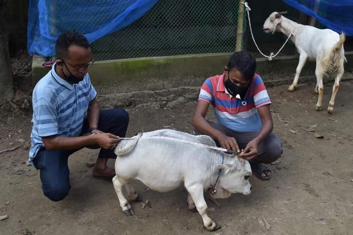 Dwarf Bangladeshi Cow