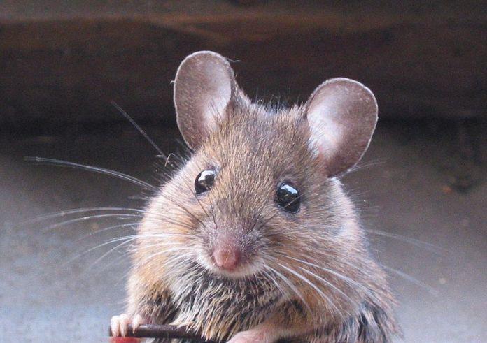 Mouse Sperm