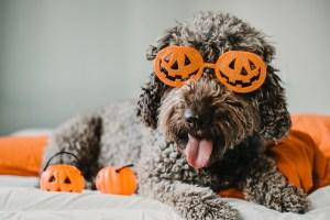 A happy dog wears jack o' lantern glasses.