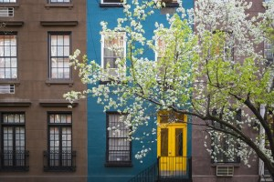 A row of city townhomes is beautified by a flowering tree.
